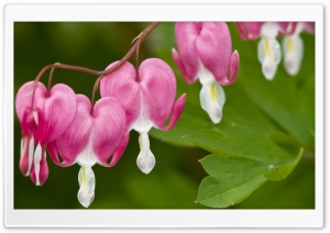 Bleeding Heart Flower HD Wide Wallpaper for Widescreen