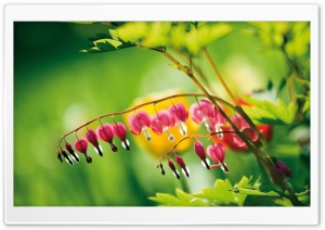 Bleeding Heart Flowers HD Wide Wallpaper for Widescreen