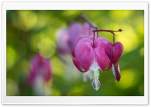 Bleeding Heart Flowers, Unfocused Green Background HD Wide Wallpaper for Widescreen