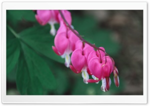 Bleeding Hearts HD Wide Wallpaper for Widescreen