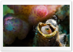 Blenny, Red Sea HD Wide Wallpaper for Widescreen