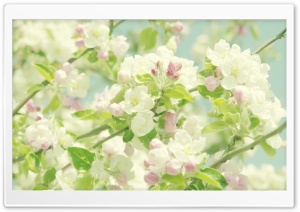 Blooming Apple Tree HD Wide Wallpaper for Widescreen