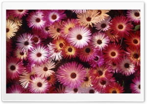 Blooming Asters HD Wide Wallpaper for Widescreen