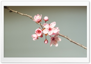 Blooming Branch HD Wide Wallpaper for Widescreen