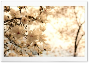 Blooming Magnolia Tree HD Wide Wallpaper for Widescreen