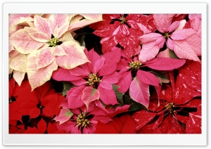 Blooming Poinsettias HD Wide Wallpaper for Widescreen