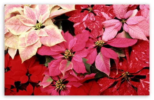 Blooming Poinsettias HD wallpaper for Wide 16:10 5:3 Widescreen WHXGA WQXGA WUXGA WXGA WGA ; HD 16:9 High Definition WQHD QWXGA 1080p 900p 720p QHD nHD ; Standard 4:3 5:4 3:2 Fullscreen UXGA XGA SVGA QSXGA SXGA DVGA HVGA HQVGA devices ( Apple PowerBook G4 iPhone 4 3G 3GS iPod Touch ) ; Tablet 1:1 ; iPad 1/2/Mini ; Mobile 4:3 5:3 3:2 16:9 5:4 - UXGA XGA SVGA WGA DVGA HVGA HQVGA devices ( Apple PowerBook G4 iPhone 4 3G 3GS iPod Touch ) WQHD QWXGA 1080p 900p 720p QHD nHD QSXGA SXGA ;