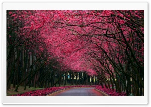 Blooming Trees Alley HD Wide Wallpaper for Widescreen