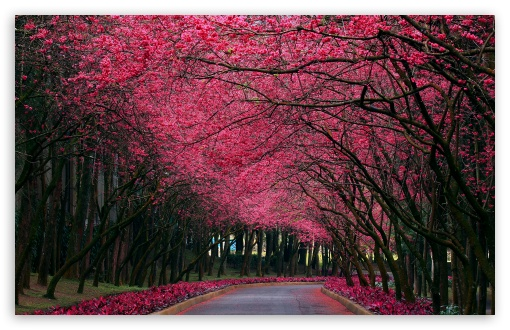 Blooming Trees Alley HD wallpaper for Wide 16:10 5:3 Widescreen WHXGA WQXGA WUXGA WXGA WGA ; HD 16:9 High Definition WQHD QWXGA 1080p 900p 720p QHD nHD ; Standard 4:3 5:4 Fullscreen UXGA XGA SVGA QSXGA SXGA ; MS 3:2 DVGA HVGA HQVGA devices ( Apple PowerBook G4 iPhone 4 3G 3GS iPod Touch ) ; Mobile VGA WVGA iPhone iPad PSP Phone - VGA QVGA Smartphone ( PocketPC GPS iPod Zune BlackBerry HTC Samsung LG Nokia Eten Asus ) WVGA WQVGA Smartphone ( HTC Samsung Sony Ericsson LG Vertu MIO ) HVGA Smartphone ( Apple iPhone iPod BlackBerry HTC Samsung Nokia ) Sony PSP Zune HD Zen ; Tablet 1&2 ;