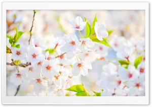 Blossom HD Wide Wallpaper for 4K UHD Widescreen desktop & smartphone