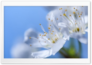 Blossom, Blue Spring Sky HD Wide Wallpaper for Widescreen