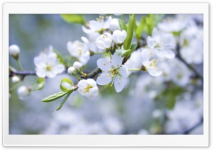 Blossom Branch HD Wide Wallpaper for Widescreen