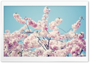 Blossom Flower Tree HD Wide Wallpaper for Widescreen