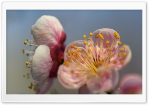 Blossom Macro HD Wide Wallpaper for Widescreen