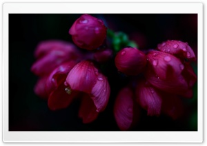 Blossom, Raindrops, Dark Ultra HD Wallpaper for 4K UHD Widescreen desktop, tablet & smartphone