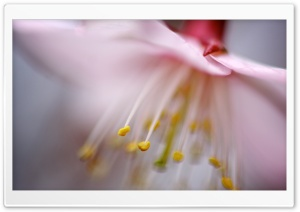 Blossom Stamens HD Wide Wallpaper for Widescreen