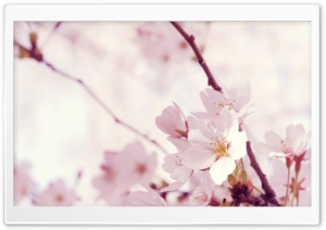 Blossom Tree HD Wide Wallpaper for Widescreen