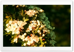 Blossom Tree Branch HD Wide Wallpaper for Widescreen