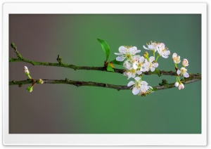 Blossom Tree Branch, Spring Ultra HD Wallpaper for 4K UHD Widescreen desktop, tablet & smartphone