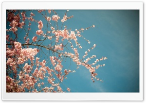 Blossom Tree, Spring HD Wide Wallpaper for Widescreen