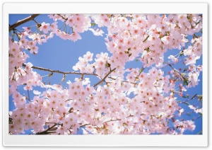 Blossomed Cherry Tree HD Wide Wallpaper for Widescreen