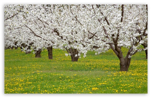 Blossoming Fruit Trees Mosier Oregon HD wallpaper for Wide 16:10 5:3 Widescreen WHXGA WQXGA WUXGA WXGA WGA ; HD 16:9 High Definition WQHD QWXGA 1080p 900p 720p QHD nHD ; Standard 4:3 5:4 3:2 Fullscreen UXGA XGA SVGA QSXGA SXGA DVGA HVGA HQVGA devices ( Apple PowerBook G4 iPhone 4 3G 3GS iPod Touch ) ; Tablet 1:1 ; iPad 1/2/Mini ; Mobile 4:3 5:3 3:2 16:9 5:4 - UXGA XGA SVGA WGA DVGA HVGA HQVGA devices ( Apple PowerBook G4 iPhone 4 3G 3GS iPod Touch ) WQHD QWXGA 1080p 900p 720p QHD nHD QSXGA SXGA ;