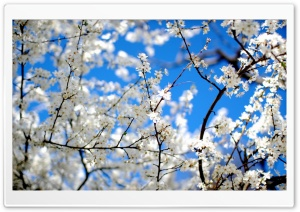 Blossoms And Blue HD Wide Wallpaper for Widescreen