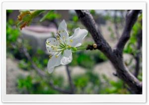 Blossoms Open HD Wide Wallpaper for Widescreen