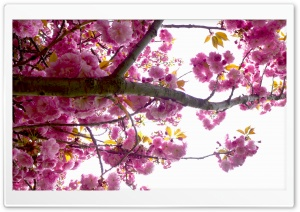 Blossoms Tree HD Wide Wallpaper for Widescreen