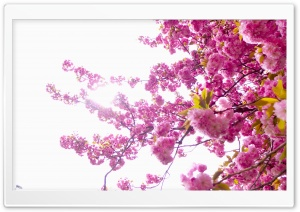 Blossoms Tree HD Wide Wallpaper for 4K UHD Widescreen desktop & smartphone