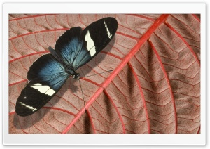 Blue And Black Butterfly HD Wide Wallpaper for Widescreen