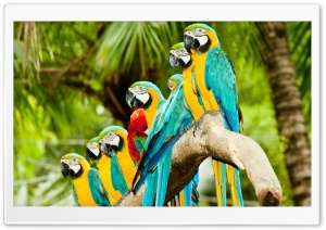 Blue And Gold Macaw Parrots HD Wide Wallpaper for 4K UHD Widescreen desktop & smartphone