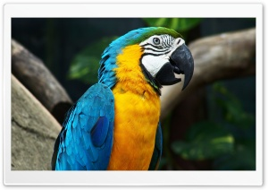 Blue-And-Yellow Macaw HD Wide Wallpaper for Widescreen