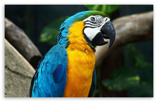 Blue-And-Yellow Macaw HD wallpaper for Wide 16:10 5:3 Widescreen WHXGA WQXGA WUXGA WXGA WGA ; HD 16:9 High Definition WQHD QWXGA 1080p 900p 720p QHD nHD ; Standard 4:3 5:4 3:2 Fullscreen UXGA XGA SVGA QSXGA SXGA DVGA HVGA HQVGA devices ( Apple PowerBook G4 iPhone 4 3G 3GS iPod Touch ) ; Tablet 1:1 ; iPad 1/2/Mini ; Mobile 4:3 5:3 3:2 16:9 5:4 - UXGA XGA SVGA WGA DVGA HVGA HQVGA devices ( Apple PowerBook G4 iPhone 4 3G 3GS iPod Touch ) WQHD QWXGA 1080p 900p 720p QHD nHD QSXGA SXGA ;