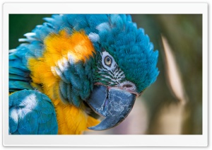 BLUE AND YELLOW MACAW 5K HD Wide Wallpaper for Widescreen