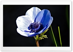 Blue Anemone HD Wide Wallpaper for Widescreen