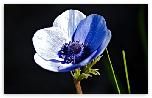 Blue Anemone ❤ 4K UHD Wallpaper for Wide 16:10 5:3 Widescreen WHXGA WQXGA WUXGA WXGA WGA ; 4K UHD 16:9 Ultra High Definition 2160p 1440p 1080p 900p 720p ; Standard 4:3 5:4 3:2 Fullscreen UXGA XGA SVGA QSXGA SXGA DVGA HVGA HQVGA ( Apple PowerBook G4 iPhone 4 3G 3GS iPod Touch ) ; Tablet 1:1 ; iPad 1/2/Mini ; Mobile 4:3 5:3 3:2 16:9 5:4 - UXGA XGA SVGA WGA DVGA HVGA HQVGA ( Apple PowerBook G4 iPhone 4 3G 3GS iPod Touch ) 2160p 1440p 1080p 900p 720p QSXGA SXGA ;