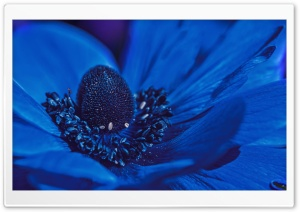 Blue Anemone Flower HD Wide Wallpaper for Widescreen