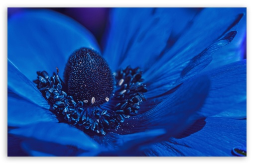 Blue Anemone Flower ❤ 4K UHD Wallpaper for Wide 16:10 5:3 Widescreen WHXGA WQXGA WUXGA WXGA WGA ; UltraWide 21:9 24:10 ; 4K UHD 16:9 Ultra High Definition 2160p 1440p 1080p 900p 720p ; UHD 16:9 2160p 1440p 1080p 900p 720p ; Standard 4:3 5:4 3:2 Fullscreen UXGA XGA SVGA QSXGA SXGA DVGA HVGA HQVGA ( Apple PowerBook G4 iPhone 4 3G 3GS iPod Touch ) ; Smartphone 16:9 3:2 5:3 2160p 1440p 1080p 900p 720p DVGA HVGA HQVGA ( Apple PowerBook G4 iPhone 4 3G 3GS iPod Touch ) WGA ; Tablet 1:1 ; iPad 1/2/Mini ; Mobile 4:3 5:3 3:2 16:9 5:4 - UXGA XGA SVGA WGA DVGA HVGA HQVGA ( Apple PowerBook G4 iPhone 4 3G 3GS iPod Touch ) 2160p 1440p 1080p 900p 720p QSXGA SXGA ; Dual 16:10 4:3 5:4 3:2 WHXGA WQXGA WUXGA WXGA UXGA XGA SVGA QSXGA SXGA DVGA HVGA HQVGA ( Apple PowerBook G4 iPhone 4 3G 3GS iPod Touch ) ;
