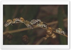 Blue Banded Bees Sleeping HD Wide Wallpaper for Widescreen
