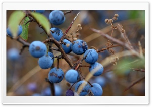 Blue Berry HD Wide Wallpaper for Widescreen