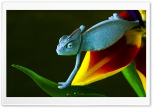 Blue Chameleon HD Wide Wallpaper for Widescreen