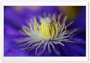 Blue Clematis Flower Macro HD Wide Wallpaper for Widescreen