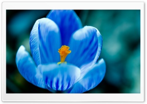 Blue Crocus HD Wide Wallpaper for Widescreen
