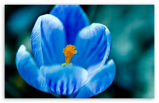 Blue Crocus HD wallpaper for Wide 16:10 5:3 Widescreen WHXGA WQXGA WUXGA WXGA WGA ; HD 16:9 High Definition WQHD QWXGA 1080p 900p 720p QHD nHD ; Standard 4:3 5:4 3:2 Fullscreen UXGA XGA SVGA QSXGA SXGA DVGA HVGA HQVGA devices ( Apple PowerBook G4 iPhone 4 3G 3GS iPod Touch ) ; Tablet 1:1 ; iPad 1/2/Mini ; Mobile 4:3 5:3 3:2 16:9 5:4 - UXGA XGA SVGA WGA DVGA HVGA HQVGA devices ( Apple PowerBook G4 iPhone 4 3G 3GS iPod Touch ) WQHD QWXGA 1080p 900p 720p QHD nHD QSXGA SXGA ;
