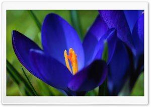 Blue Crocus Flowers HD Wide Wallpaper for Widescreen