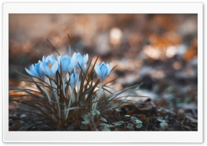 Blue Crocus Flowers Ultra HD Wallpaper for 4K UHD Widescreen desktop, tablet & smartphone