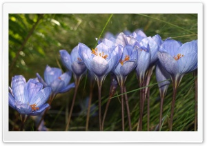 Blue Crocuses HD Wide Wallpaper for Widescreen