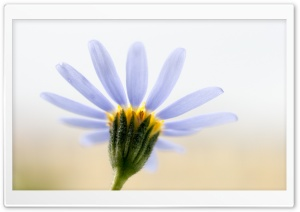 Blue Daisy HD Wide Wallpaper for Widescreen