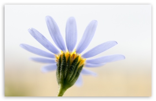 Blue Daisy ❤ 4K UHD Wallpaper for Wide 16:10 5:3 Widescreen WHXGA WQXGA WUXGA WXGA WGA ; 4K UHD 16:9 Ultra High Definition 2160p 1440p 1080p 900p 720p ; Standard 4:3 5:4 3:2 Fullscreen UXGA XGA SVGA QSXGA SXGA DVGA HVGA HQVGA ( Apple PowerBook G4 iPhone 4 3G 3GS iPod Touch ) ; Smartphone 16:9 3:2 5:3 2160p 1440p 1080p 900p 720p DVGA HVGA HQVGA ( Apple PowerBook G4 iPhone 4 3G 3GS iPod Touch ) WGA ; Tablet 1:1 ; iPad 1/2/Mini ; Mobile 4:3 5:3 3:2 16:9 5:4 - UXGA XGA SVGA WGA DVGA HVGA HQVGA ( Apple PowerBook G4 iPhone 4 3G 3GS iPod Touch ) 2160p 1440p 1080p 900p 720p QSXGA SXGA ;